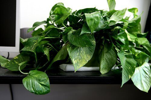 amazing-surekli-yesil-kalan-bir-diger-evinizin-havasini-temizleyen-bitkiler-14 Evinizin havasını temizleyen bitkiler
