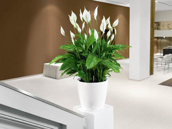 best-evin-havasini-temizleyen-bitkiler-evinizin-havasini-temizleyen-bitkiler-25 Evinizin havasını temizleyen bitkiler