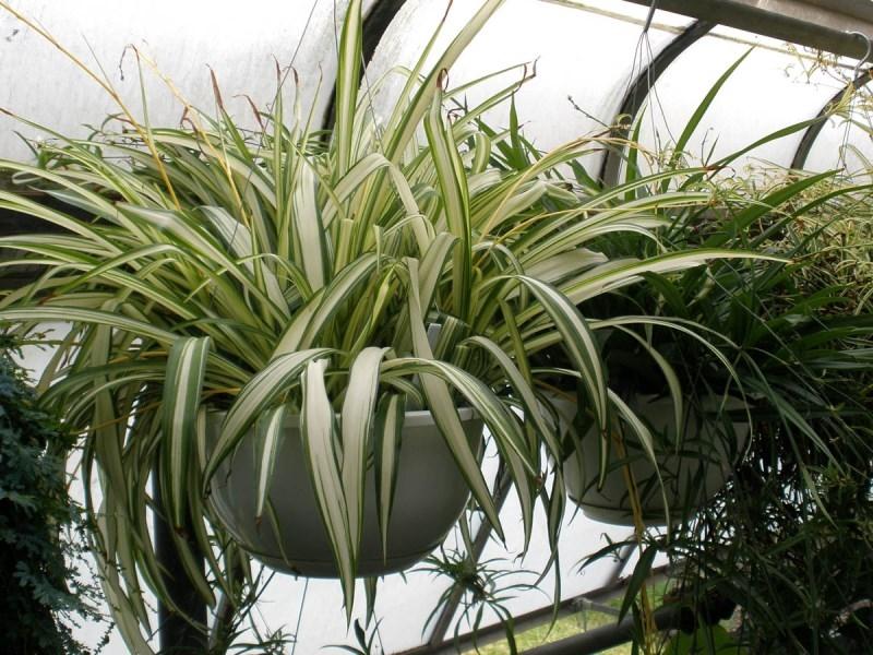 chic-kurdele-cicegi-evinizi-temizlerken-ortaliga-evinizin-havasini-temizleyen-bitkiler-21 Evinizin havasını temizleyen bitkiler