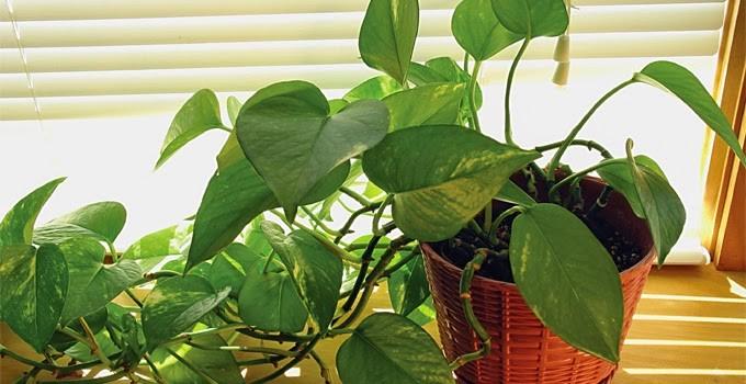 stunning-fakat-kapali-mekanlarda-da-yetistirmek-evinizin-havasini-temizleyen-bitkiler-18 Evinizin havasını temizleyen bitkiler