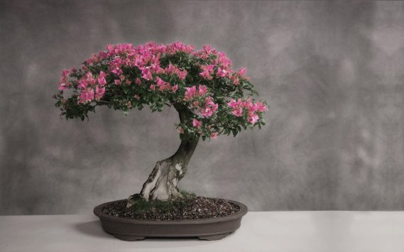 Bonsai-Sanatı Bonsai Ağacı İle Dekorasyon
