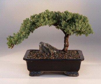 Bonsai-Yetiştirme Bonsai Ağacı İle Dekorasyon